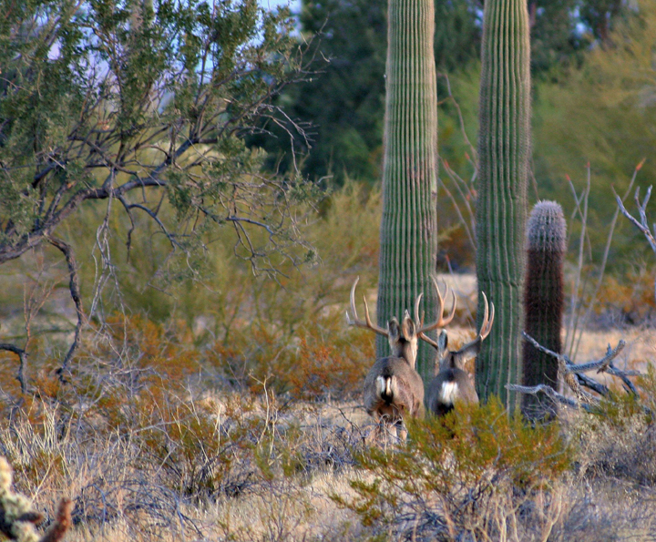 Two stags work their way across a brushy field, backs to the camera.  Beyond them are three column-like cacti.